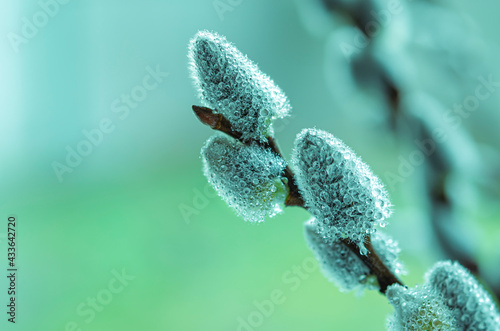 Fotografie, Obraz Beautiful pussy willow flowers branches. Soft floral spring frame