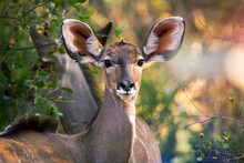Female Kudu