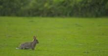 Nervous Wild Rabbit Twitchs Before Running Away Across Green Grass
