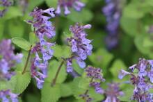 Faassen's Catnip Flowering In Springtime