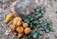 Close Up Solf Blurred Focus Forest Mushrooms In Orange On Ground.