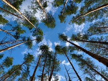 Trees Against The Blue Sky, Bottom View. Tall Pine Trees In A Green Forest. The Tops Of Coniferous Trees.