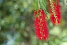 Red Bottlebrush Flower Plant Or Crimson Bottlebrush. The Tropical Evergreen Is Originally Native To Australia