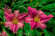 Flower Beds With Flowers In Summer Garden. Pink Daylilies Flowers (Latin: Hemerocallis) On Green Leaves Background. Closeup. Soft Selective Focus.