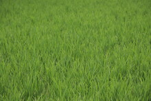 South East Asia Rice Field Paddy
