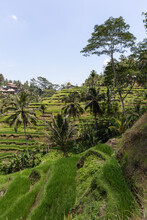 Lush Abundant Rice Fields Growing On Hilly Terrain In Tropical Countryside In Indonesia Under Blue Sky