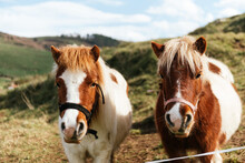 Mares With White And Brown Coat In Bridles Standing On Green Meadow Under Cloudy Sky In Countryside