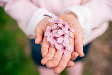 From Above Of Crop Unrecognizable Child Demonstrating Blooming Pale Pink Flowers With Delicate Petals In Park