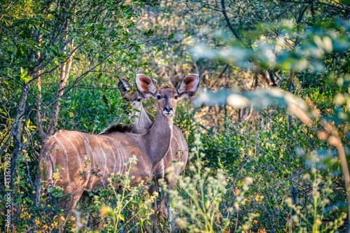 female kudu - fototapety na wymiar