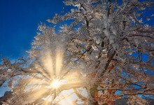 From Below Of Bright Sun Shining Through Branches Of Tree Covered With Snow In Winter Woods On Background Of Blue Sky