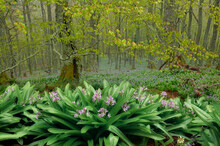 Scenic View Of Lush Meadow With Blossoming Purple Crocus Flowers Growing In Forest In Spring On Foggy Day