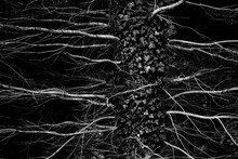 Black And White Trunk Of Tree With Leafless Branches And Ivy Growing In Woods