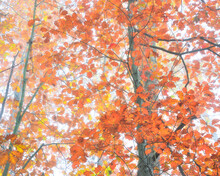 From Below Of Tall Oak Tree With Colorful Leaves Growing In Woods In Fall