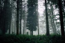 Overgrown Trees In Misty Woods Under Gray Sky