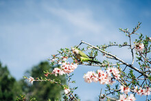 Low Angle Of Green Bird Perching On Cherry Tree Branch With Blooming Flowers In Garden