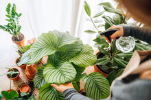 Crop Unrecognizable Young Female Gardener In Casual Clothes And Apron Spraying Water On Big Fresh Leaves Of Exotic Prayer Plant During Work In Flower Shop
