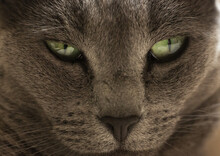 Closeup Shot Of The Muzzle Of A Dark Gray Cat With Green Eye