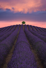 Majestic Scenery Of Lonely Tree Growing In Field With Blooming Lavender Flowers On Background Of Colorful Sundown Sky