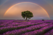 Majestic Scenery Of Blooming Lavender Flowers And Green Tree Growing In Field Under Rainbow In Sunset Sky