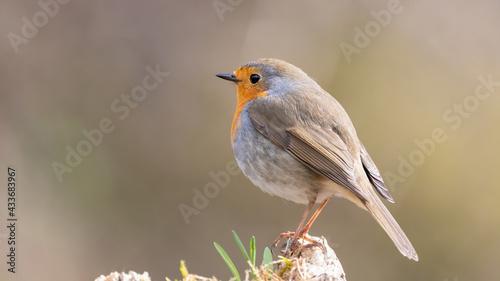 Obraz na plátně bird, robin, natur, wild lebende tiere, tier, wild, rot, ast, baum, schnabel, ro