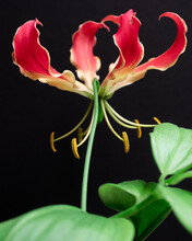 Closeup Of Red Flame Lily On Black Background