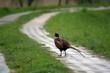 Bażant spacerujący w deszczu na zielonej trawie