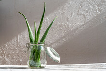 Bunch Of Fresh Green Aloe Vera Leaves In Glass Jar Placed On Wooden Table  In Studio