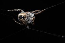 Small Spider Agalenatea Redii Overnight On Black Background