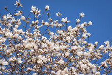 Blooming White Magnolia Tree Against Clear Blue Sky Background On Sunny Spring Day