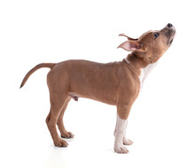 3 Month Old American Staffordshire Terrier Looking Up