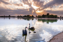 Black Swans Swimming In Qudra Lakes In Dubai -UAE
