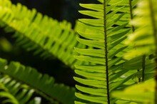 Green Fern Leaves (Nephrolepis Cordifolia), Selected Focus, For Natural Background And Wallpaper