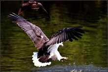 Flying Eagle Catching Fish