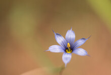 Blue Eyed Grass Macro