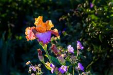 Orange Golden And Violet Iris Flower Close-up