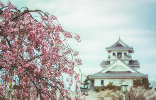 Photo 滋賀県長浜市の長浜城と豊公園に咲く枝垂れ桜