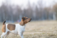 Beautiful Young Dog Jack Russell Terrier Breed Plays In The Park.