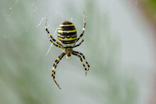 Yellow Black Wasp Spider Insect
