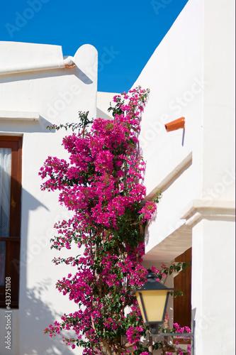 Canvas Bougainvillaea flowering tree
