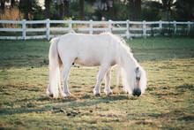 White Mini Horse In The Field