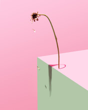 Dying Gerbera Flower Concept. Baby Pink, Rose And Green Lonely Background. Minimal Modern Abstract Arrangment.