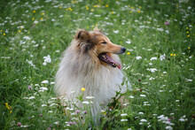 Rough Collie Sable And White Dog