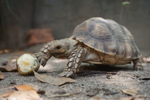 Close Up African Spurred Tortoise Resting In The Natural , Slow Life ,Africa Spurred Tortoise Sunbathe On Ground With His Protective Shell ,Beautiful Tortoise