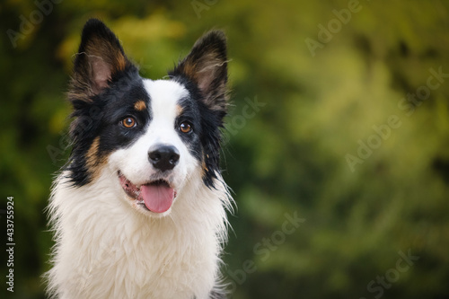 Obraz na plátně Border collie and Australian shepherd dog breed