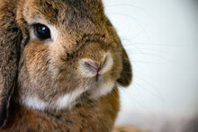 Close Up Cute Lop Ear Rabbit Bunny With Hanging Ears.