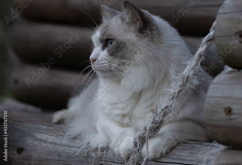 Slika na platnu White long haired cat playing in a timber treehouse.