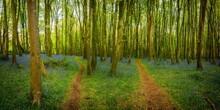 Bluebell Wood Cornwall England Uk
