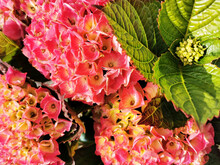 Closeup Of Pink Large-leaved Hydrangea