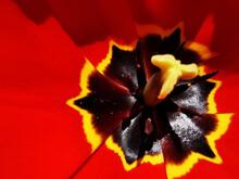 Macro Shot Of Red Tulip