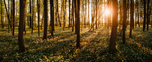 Beautiful Panorama View Of A Forest With Tree Silhouettes And Sunset Warm Light Glow. White Wild Garlic Flowers On The Floor Of A Outdoor Forest With Colorful Orange Evening Light Glow And Peaceful